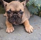 French-Bulldog_Male.jpg
