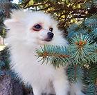 Pomeranian_female.jpg