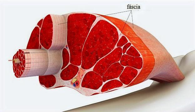 fascia-conceito_prana_massoterapia_edite
