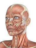 114 - face musculos.jpg