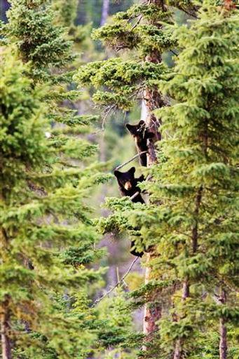 Observation_de_l'ours_noir-Pourvoiries_d
