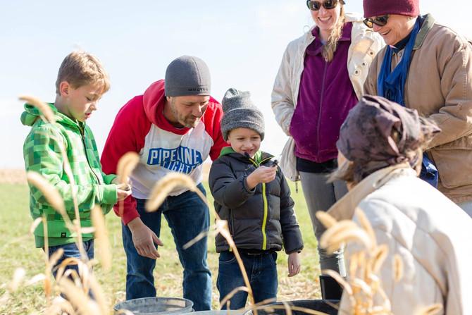 Harvesting Sacred Corn