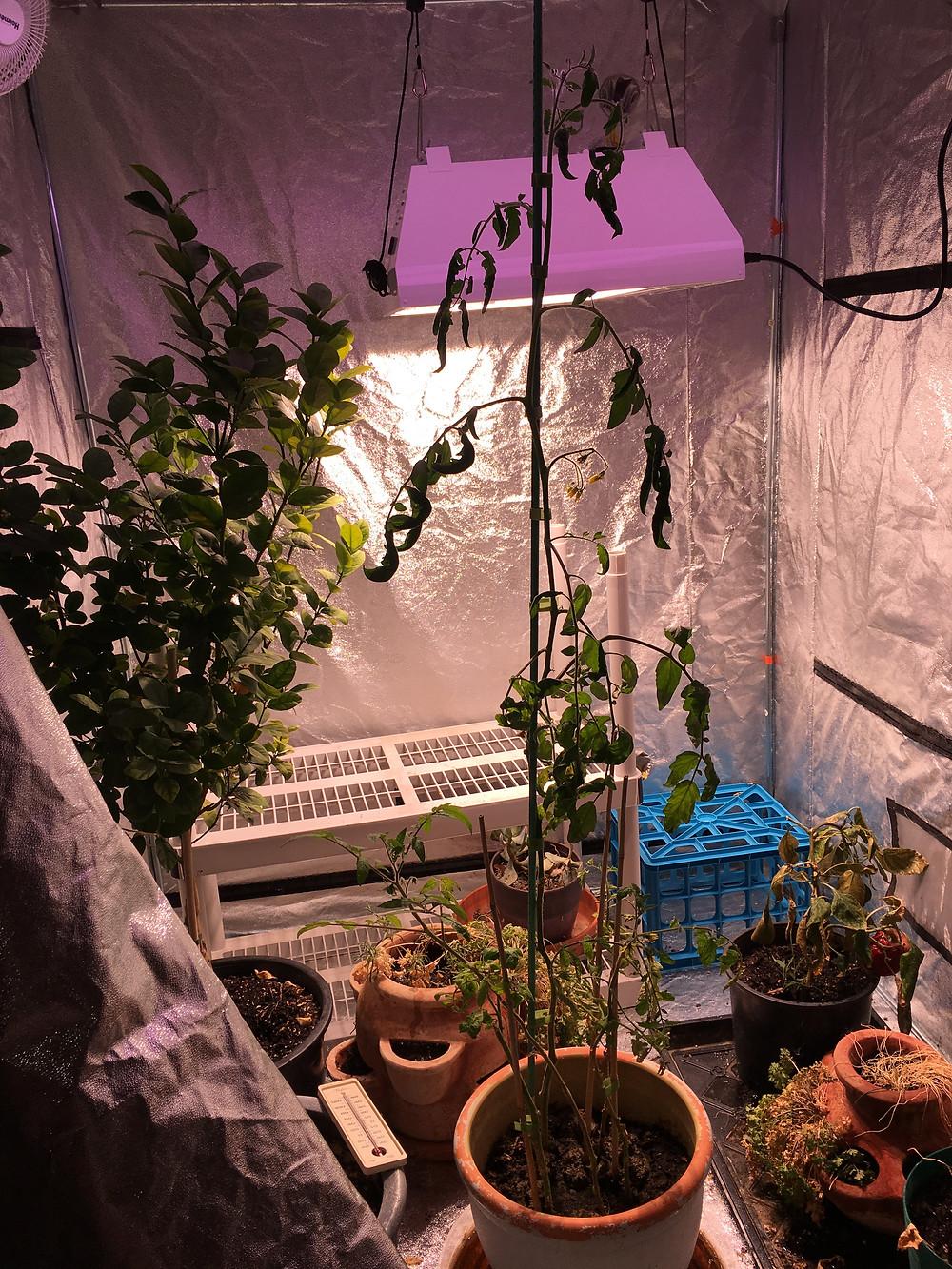 4' PLUS Tall Tomato Plant