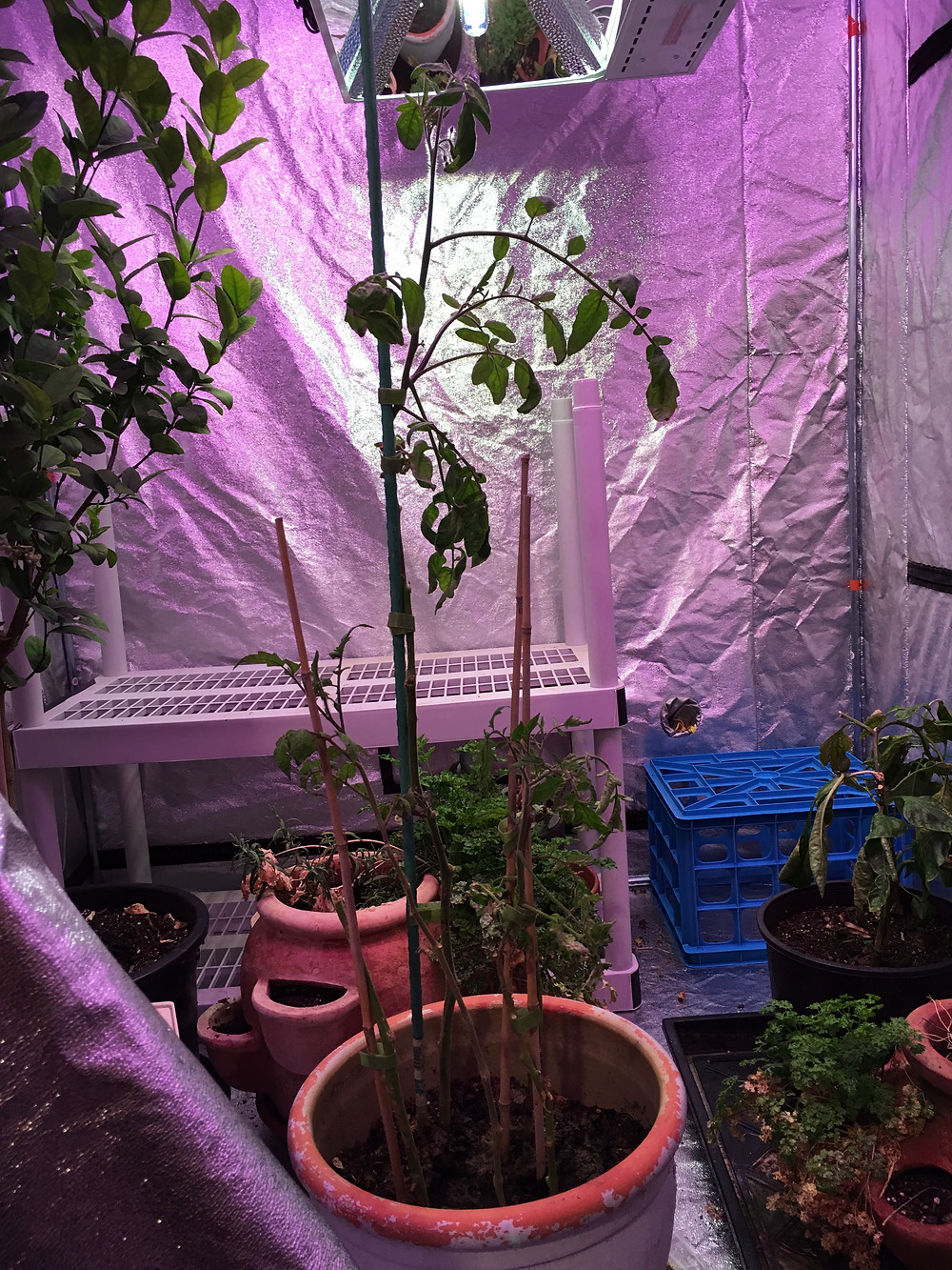 Tomato plant cuttings in the winter garden