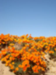 Image of poppies - Oakland Therapist, EMDR Therapist, Testimonials