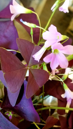 SimplyBlooming_maroon clovers