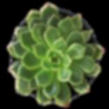 succulent COB.png