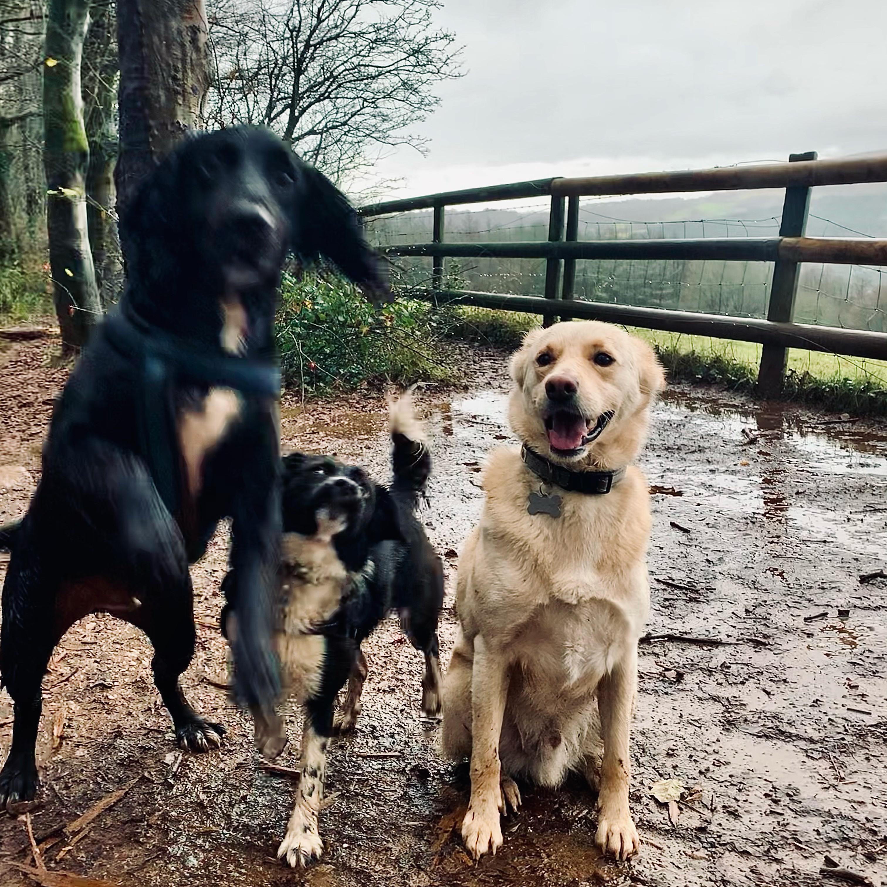 Group dog walking