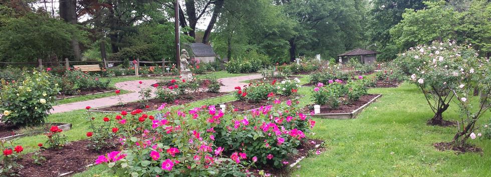 Queen of Hearts - Rose Garden.jpg