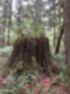 Old Growth Stump.JPG