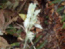 Phantom Orchid 2.JPG