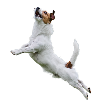 terrier jumping.png
