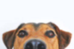jack russell terrier looking up