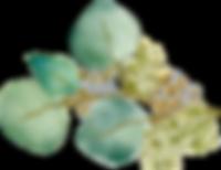 Eucalyptus (12).png