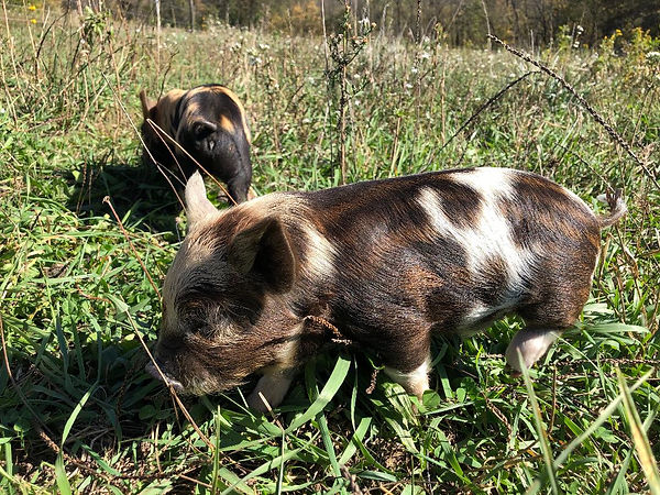 boar 1.jpg