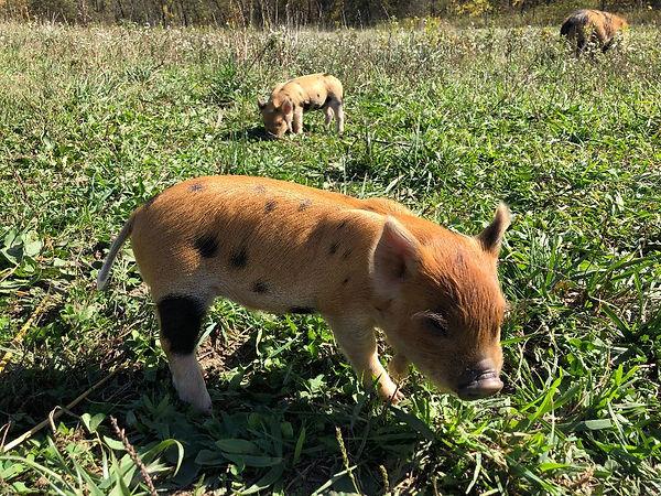 boar 2.jpg
