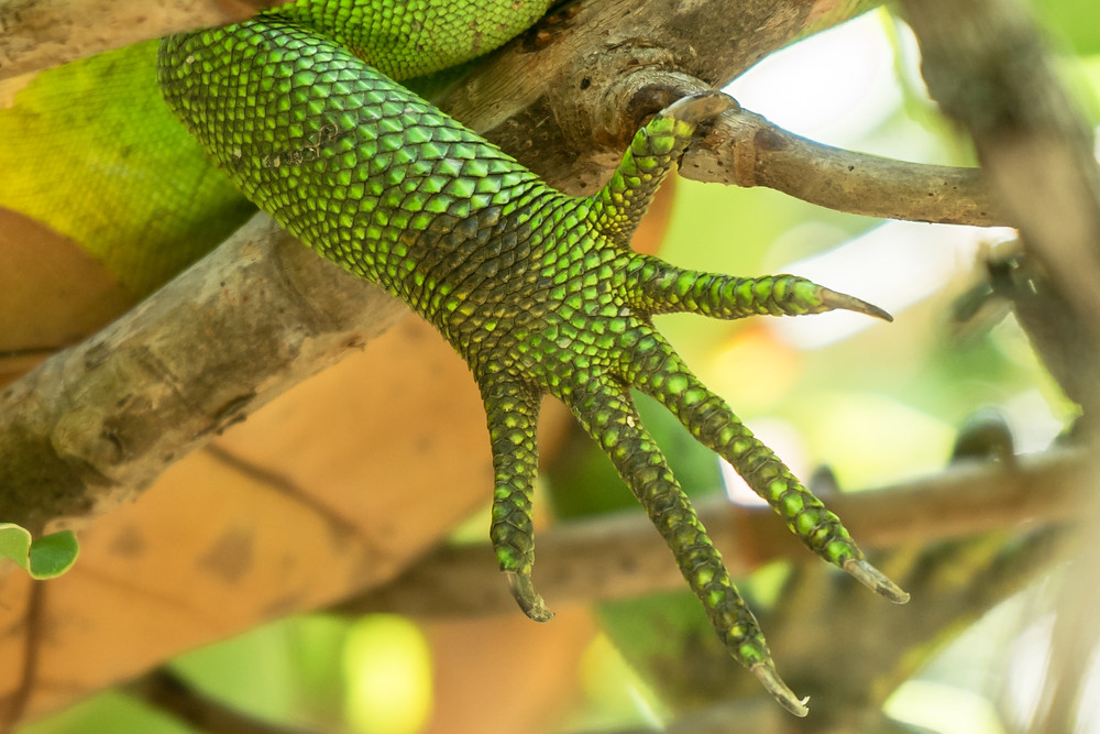 iguane animal main griffes