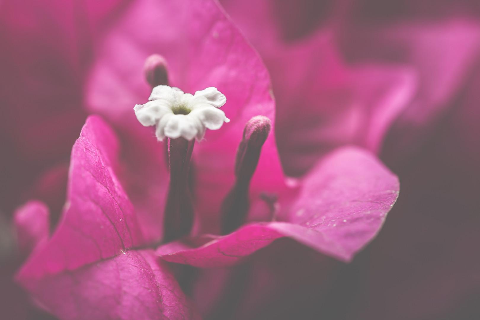 Paperflower, Bougainvilleas
