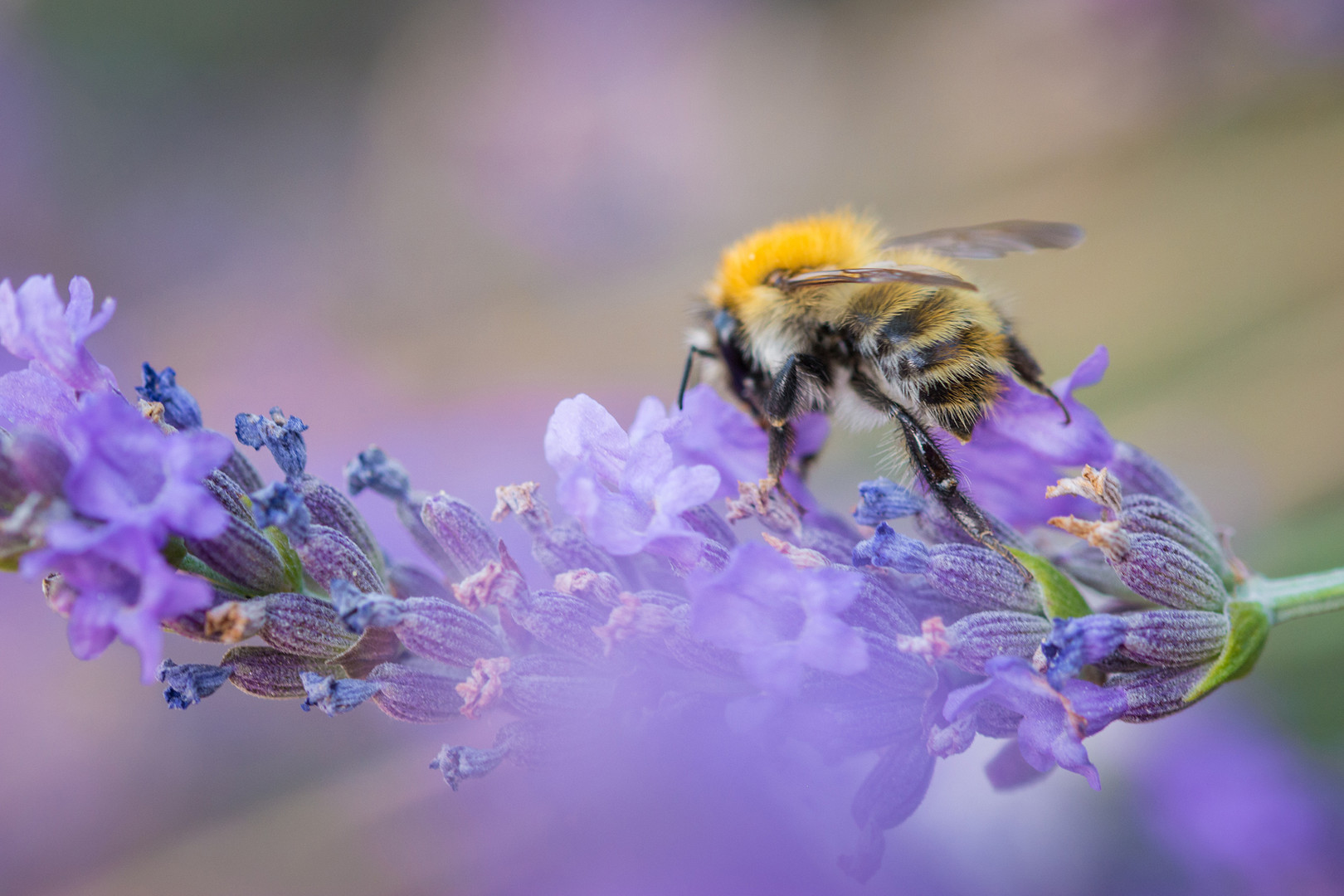 Bee on Lavender Branch