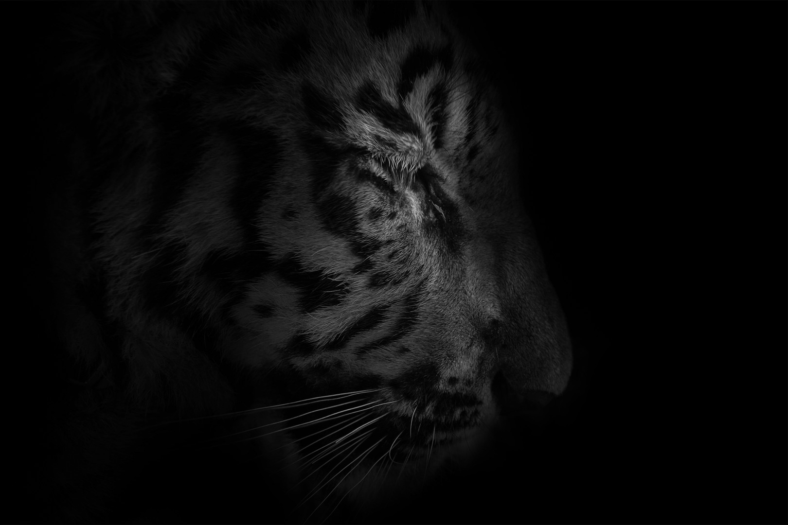 Tiger portrait, n°2