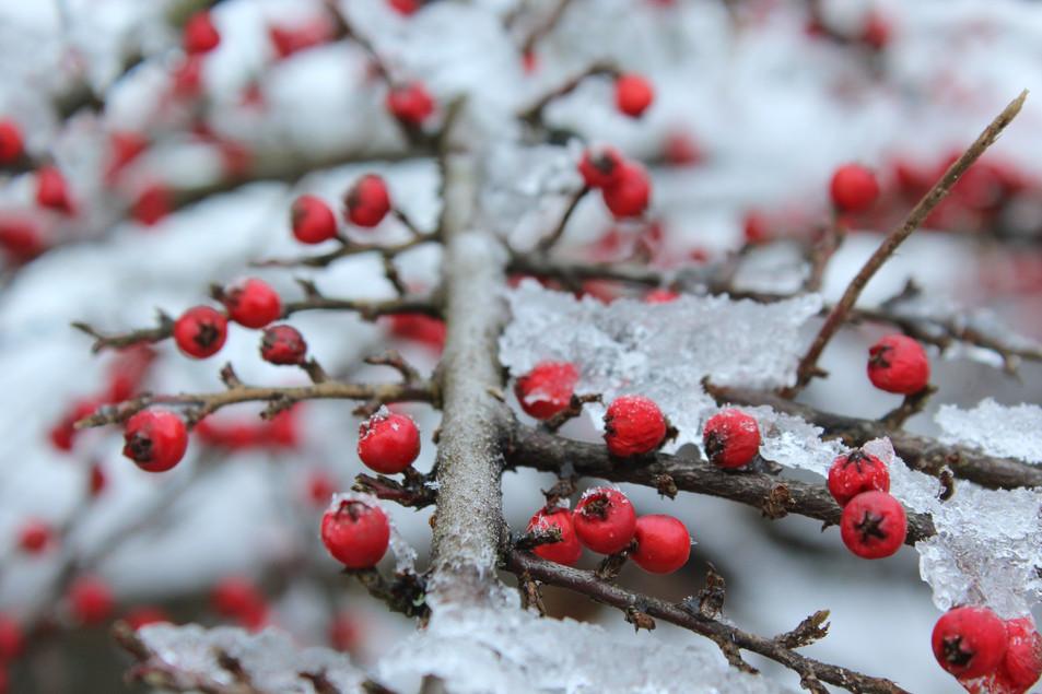 červené bobule vánoční stromeček