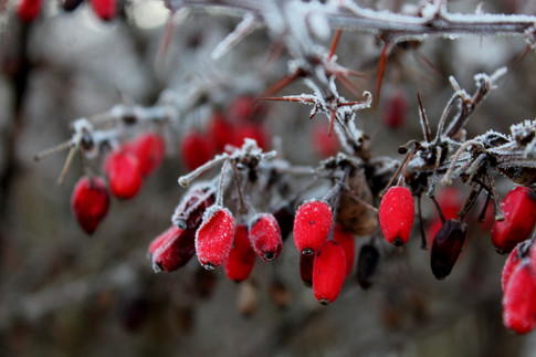 Oválné bobule červené