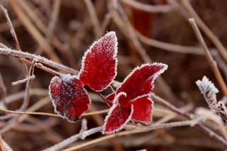 Červený list na hnědé
