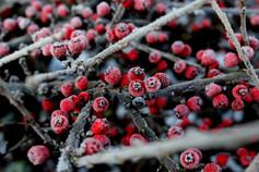 Červené bobule omrzlé