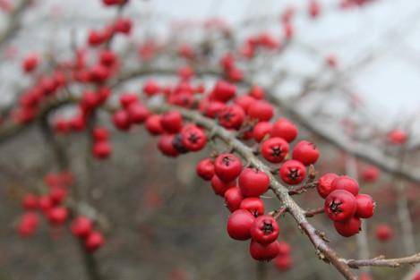 Červené bobule na větvičce