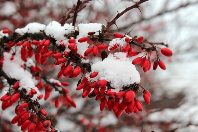 Oválné bobule zapadané sněhem