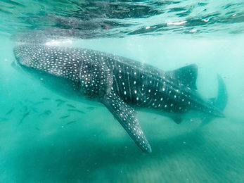 photo-of-a-whale-shark-underwater-262279