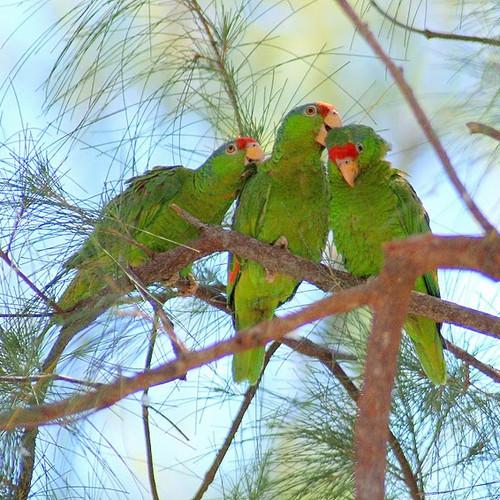 Volunteer   SoCal Parrot