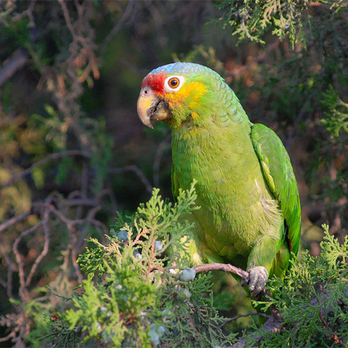Volunteer | SoCal Parrot