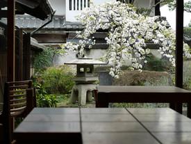 桜満開でございます。