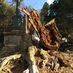ブナの倒木