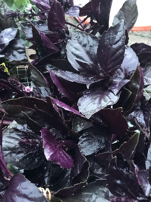 Purple Italian Basil