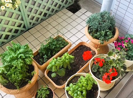 趣味のベランダ菜園の話