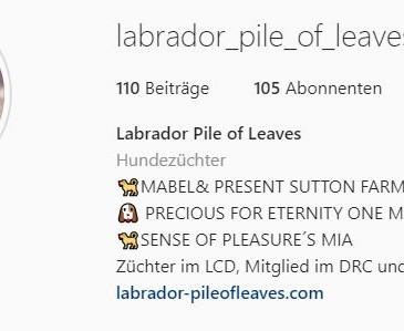 labrador_pile_of_leaves @ instagram