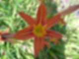 dans le jardin du gite la soulan le lys orangé s'épanouie au soleil