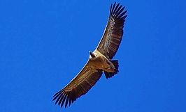 parfois les vautours fauves planent au dessus du gite de groupe la soulan