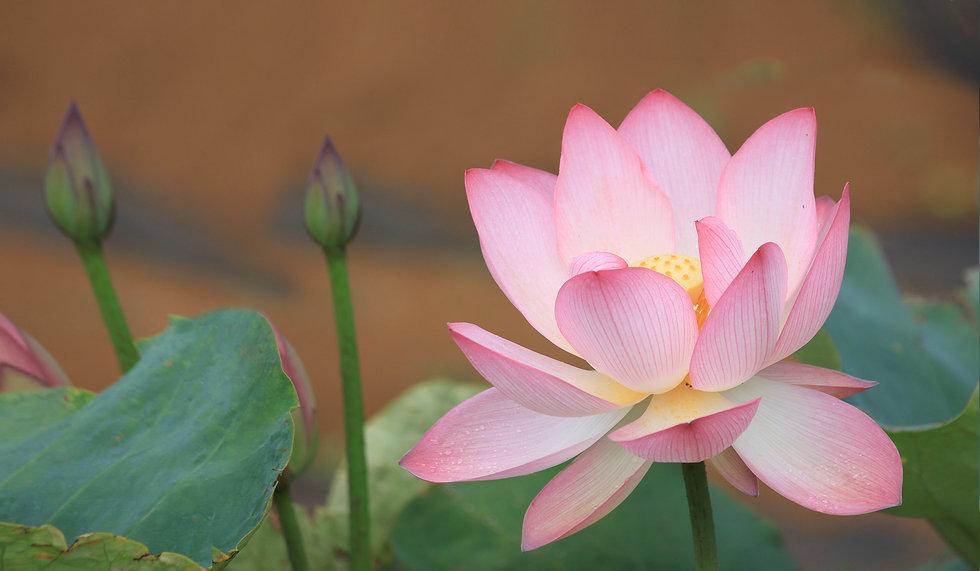 Lotus final.jpg