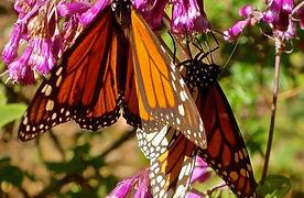 Latin America Mexico Monarchs El Rosario