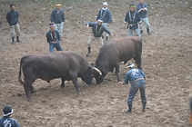 Ojiya Bullfighting