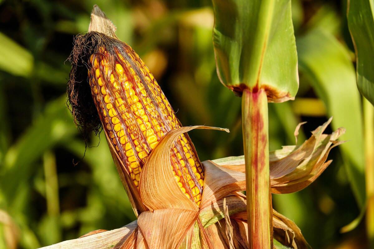 corn-1690387_1920