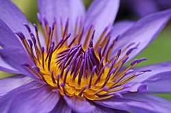 water-lily-2334163_1280