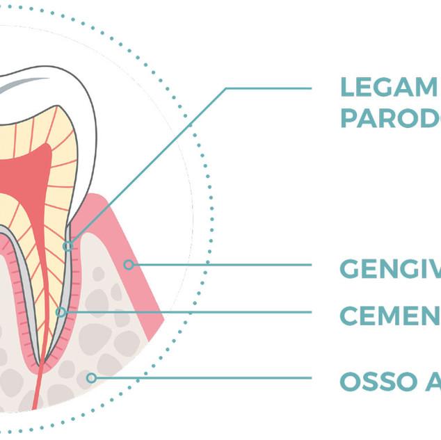 Quest'immagine ci descrive il complesso del dente e del suo parodonto.