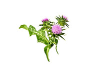 Spotted Thistle, leaves