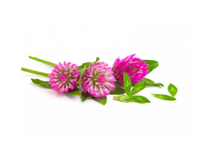 Red Clover, flower