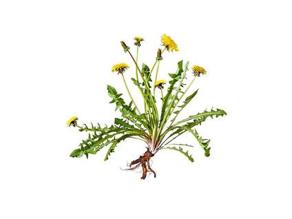 Dandelion, root
