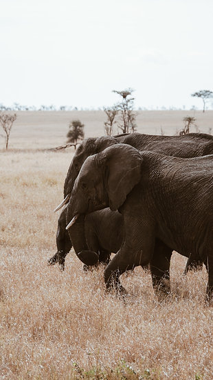 """Marching On"" - Elephant Print"